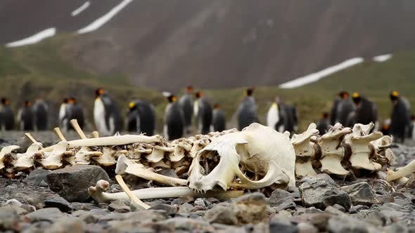 Thumbnail for King Penguin Colony on South Georgia