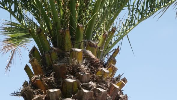 Thumbnail for Against blue sky Arecaceae Palmae tropic plant branches  4K 2160p 30fps UHD footage - Green palm tre