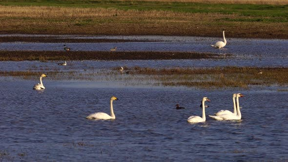 Thumbnail for White Swans and Various Minor Birds in Harmony at Lake.