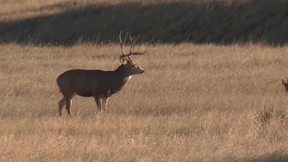 Mule Deer Buck Doe Adult Herd Several Standing Looking Around in Autumn