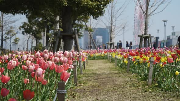Thumbnail for Tulips in the Odaiba Park