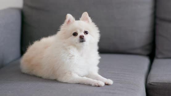 Thumbnail for White Pomeranian dog on sofa