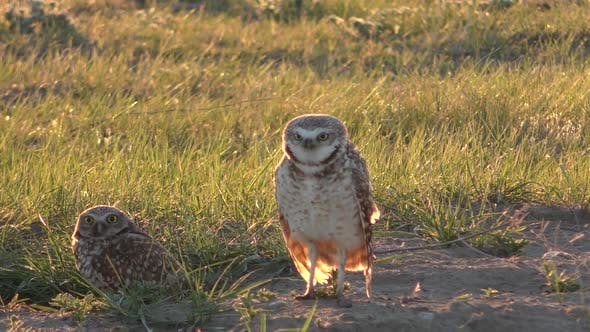 Thumbnail for Burrowing Owl Male and Female Pair Breeding Display Dance in Spring in Great Plains