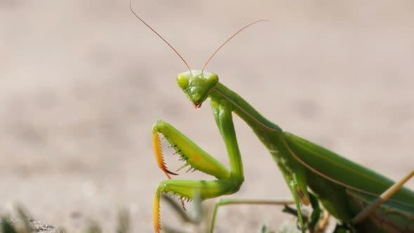 Thumbnail for The Insect Green Mantis Sits on the Sand