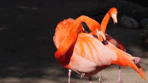 Cover Image for Flamingo