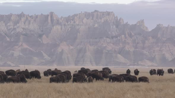 Bison aka Buffalo Herd Many Animals Eating Grazing and Walking by Badlands National Park