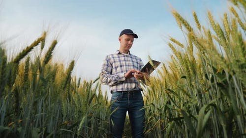 Young Farmer Works with a Digital Tablet in a Wheat Field