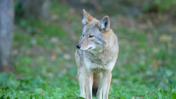Thumbnail for Coyote Standing On Grass Looking Around In Forest