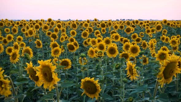 Thumbnail for View Of Evening Field With Blooming Sunflowers