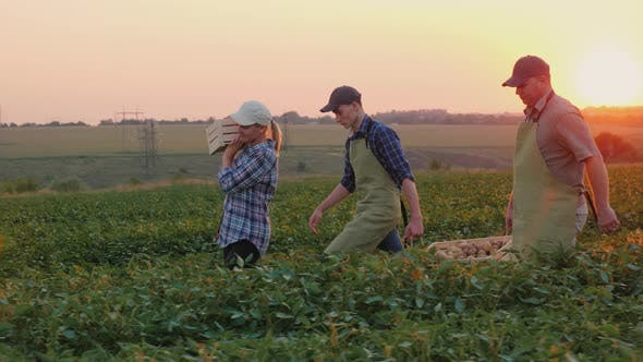 Thumbnail for A Pair of Farmers with Their Son Are Carrying Boxes of Harvest Across the Field