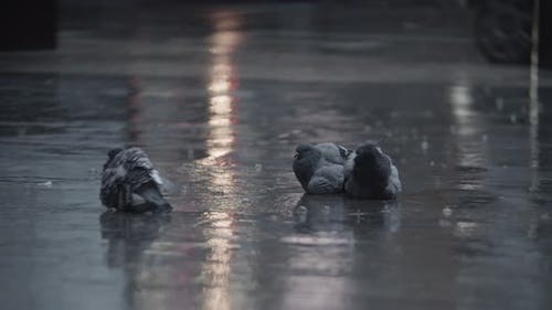 Pigeons Cleaning Feathers in the Puddle