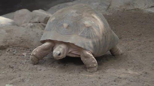 Radiated Tortoise Walking Moving Crawling in Dirt