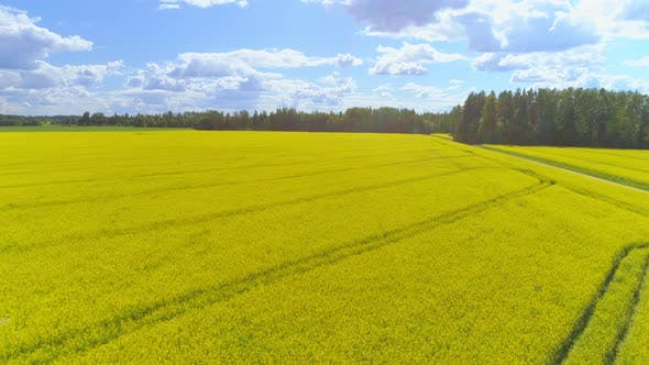 Thumbnail for Flying Over Blooming Rapeseed Canola Field and Ascend Aerial View