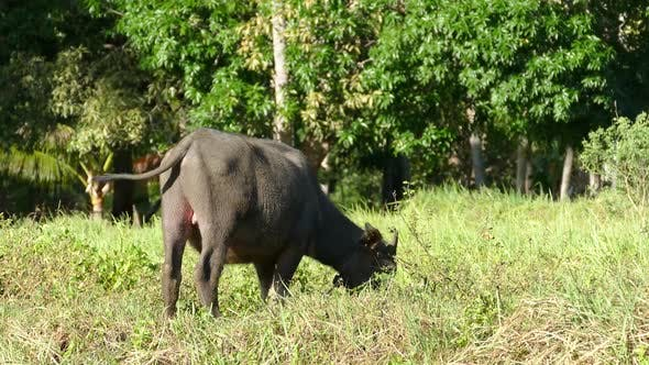 Thumbnail for Close up from a itchy water buffalo at the rice fields in Anda