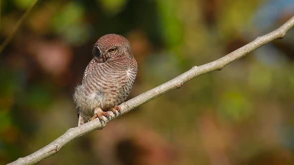 Thumbnail for Jungle owlet in Bardia national park, Nepal