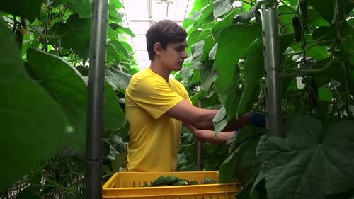 One Man is Harvesting Cucumbers and Standing in Hydroponic Greenhouse Spbd