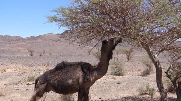 Thumbnail for Wild dromedary camel eating from a tree