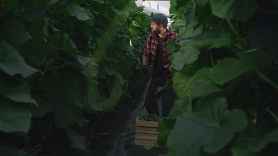 Man Harvesting Cucumbers From Plant