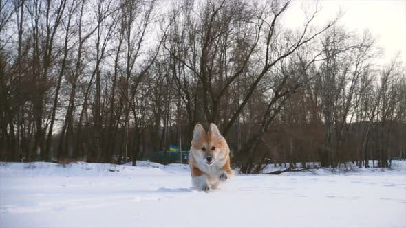 Thumbnail for Little Funny Corgi Fluffy Puppy Walking Outdoors At The Winter Day 4