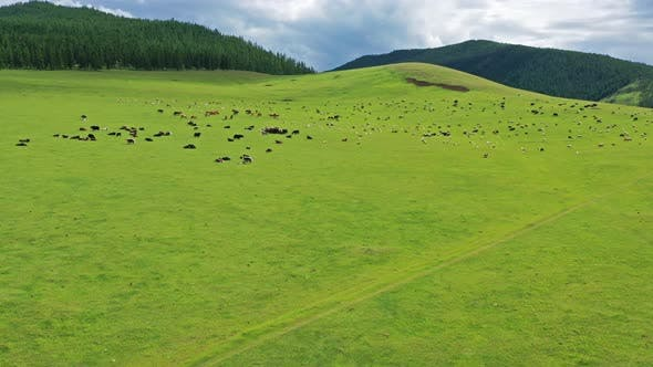 Cover Image for Aerial of Grazing Herds on Pastures in Mongolia