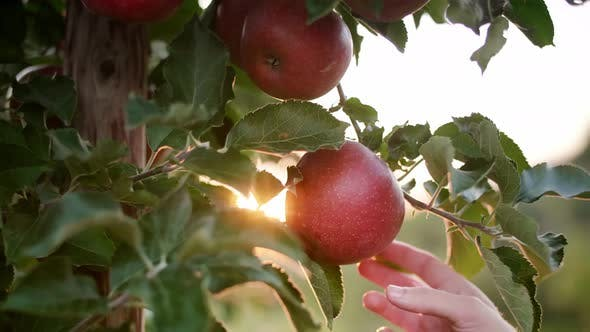 Thumbnail for Handheld video shows of man's hand picking apple