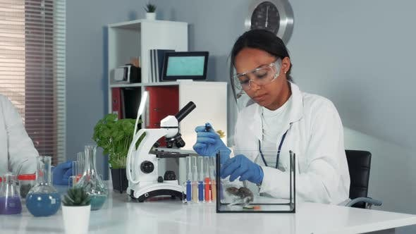 Female Research Scientist in Safety Glasses Providing Experiment with Mouse and Then Showing Her
