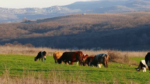 Thumbnail for Cows Grazing Outdoors