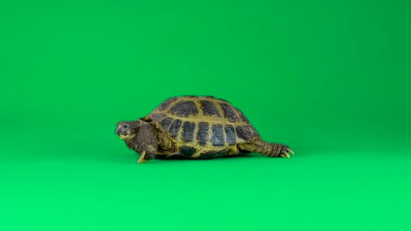 Thumbnail for Turtle on a Green Background Screen