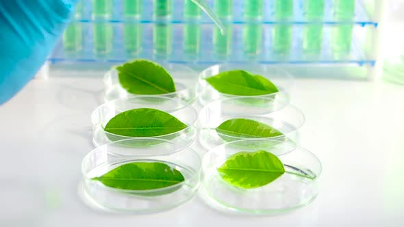 Thumbnail for View of a Scientist Drips a Drug To Accelerate Growth on Green Leaves in Petri Dishes.