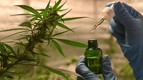 marijuana plant. Legalization growing cannabis. Hemp or CBD Oil for fiber production