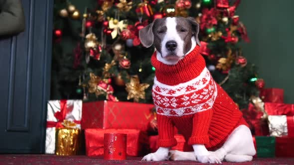 Thumbnail for Dog Wearing Red Sweater And Sitting Near Christmas Tree