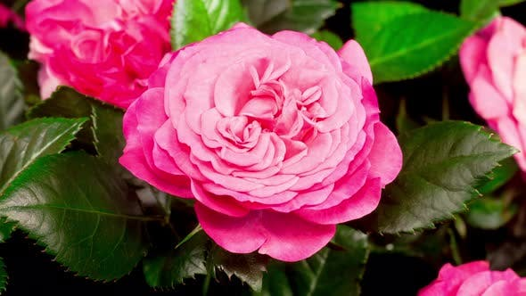 Thumbnail for Time Lapse of Opening Pink Rose Flower