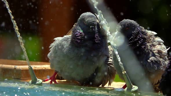 Thumbnail for Pigeons Near The Fountain
