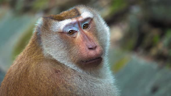 Thumbnail for Portrait of A Monkey, Large Face. Monkey Sitting and Looking at The Camera