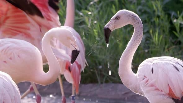 Flamingos in pond wading around