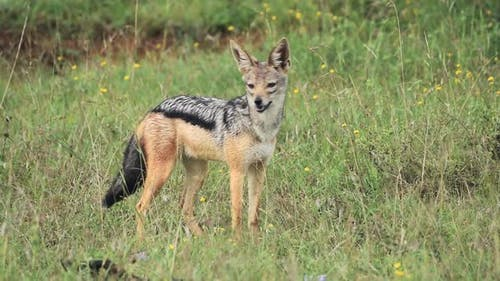 Black-backed Jackal Standing On The Grassland With Wild Flowers And Looking For its Prey In El Karam
