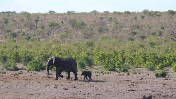 Thumbnail for Mother elephant and calf joining the herd