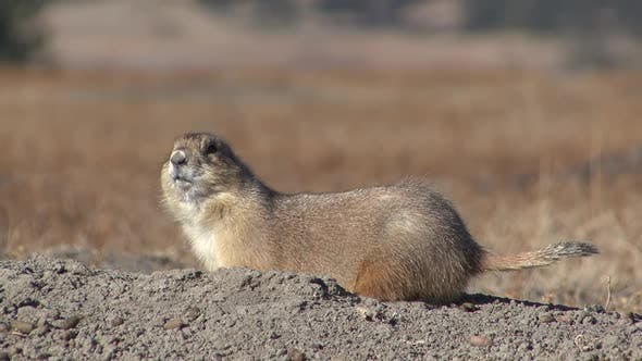 Thumbnail for Black-tailed Prairie Dog Adult Lone Alarmed Nervous Wary in Winter Flicking Tail