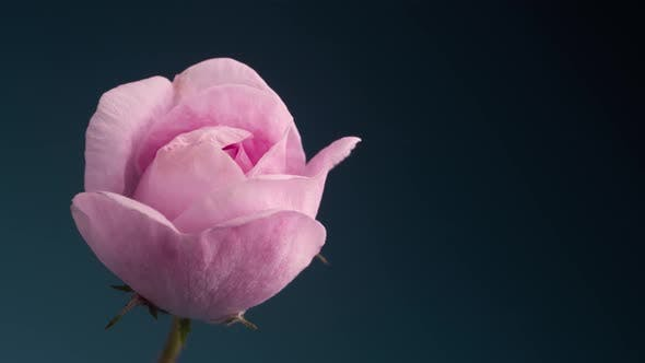 Thumbnail for Timelapse of Blooming Pink Rose Outdoors. Flower Opening Backdrop.