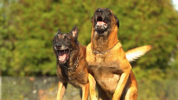 Thumbnail for Belgian Malinois dogs, Ultra Slow Motion