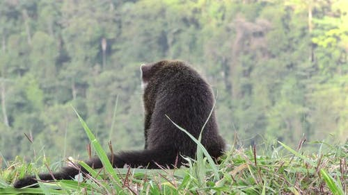 White-nosed Coati Adult Lone Foraging Looking For Food Digging Ridgeline