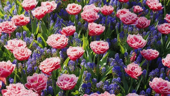 A Rare View of Tulips in Purple