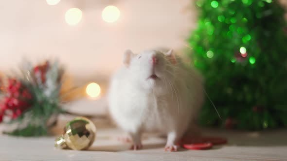 Thumbnail for White Rat Crawls in the New Year Decorations, Christmas Trees Toys, Balls. Symbol of the New 2020