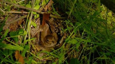 Bird Incubates Eggs in the Nest