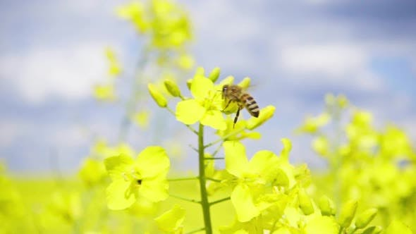 Thumbnail for Bee and Rapeseed Flowers