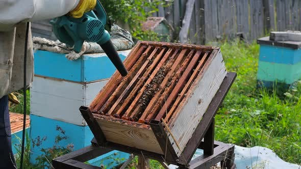 Beekeeper Uses Air-blowing Device To Brush Bees Aside. Bees Swarm in Collection Container, Beekeeper