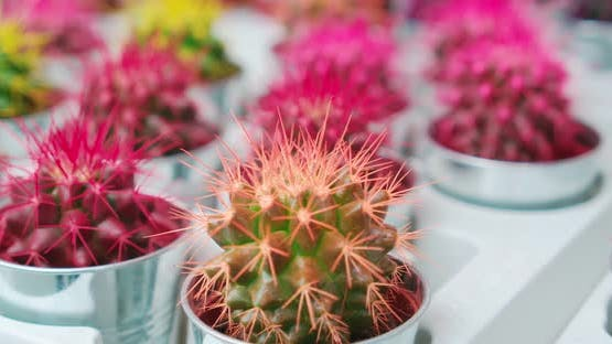 Pinkgreen and Yellow Small Cactus for Sale or Home Decor