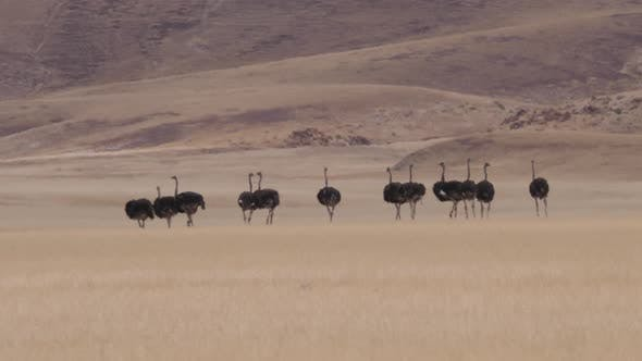 Herd of Ostrich running on a dry savanna