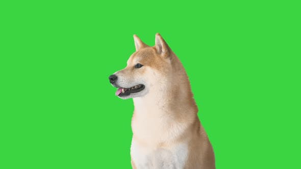 Thumbnail for Red Shiba Inu Puppy Walking Away on a Green Screen, Chroma Key.