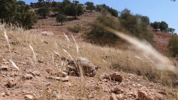 Thumbnail for Moroccan tortoise walks down a rocky hill